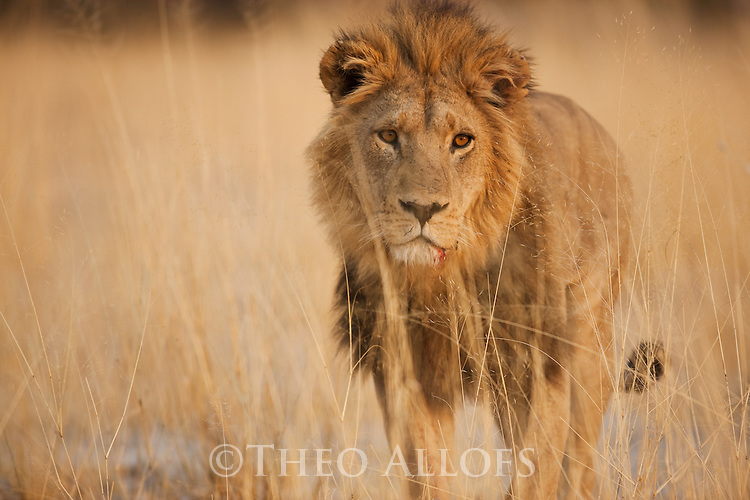 Botswana, Okavango Delta, Moremi Game Reserve,  male lion (Panthera leo) walking in dry grass savannah