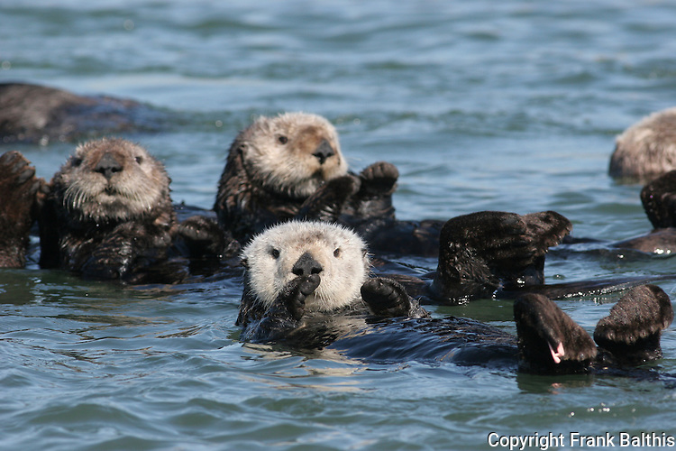Raft of sea otters at Moss Landing