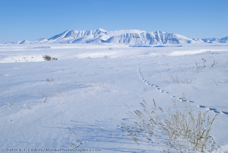 Animal tracks in the snow of Alaska's arctic coastal plains, Alaska