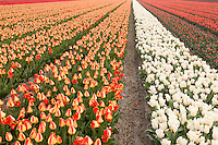 "Hollande, région des champs de fleurs, Lisse, champs de tulipes // Holland, ""Dune and Bulb Region"" in April, Lisse, here, fields of tulips."
