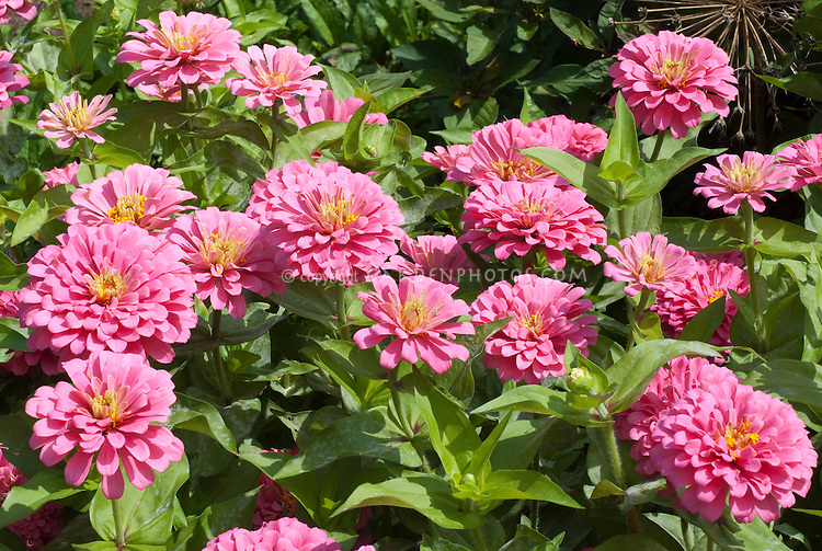 pink zinnias  plant  flower stock photography gardenphotos, Natural flower