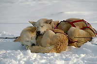 Fred Astaire & Roy Rogers T.Adkins dogs rest Anvik AK Iditarod Sled dog race