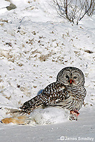 Great grey owl with snowshoe hare prey