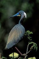 Tricolored Heron Egretta tricolor in bredding plumage south Florida