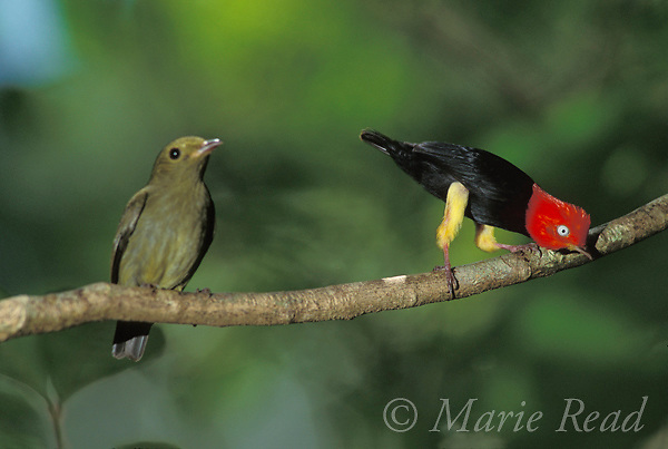 Red-capped Manakins (Pipra mentalis): male (right) during courtship display to female (left). Soberania National Park, Panama.<br /> Slide # B103-549