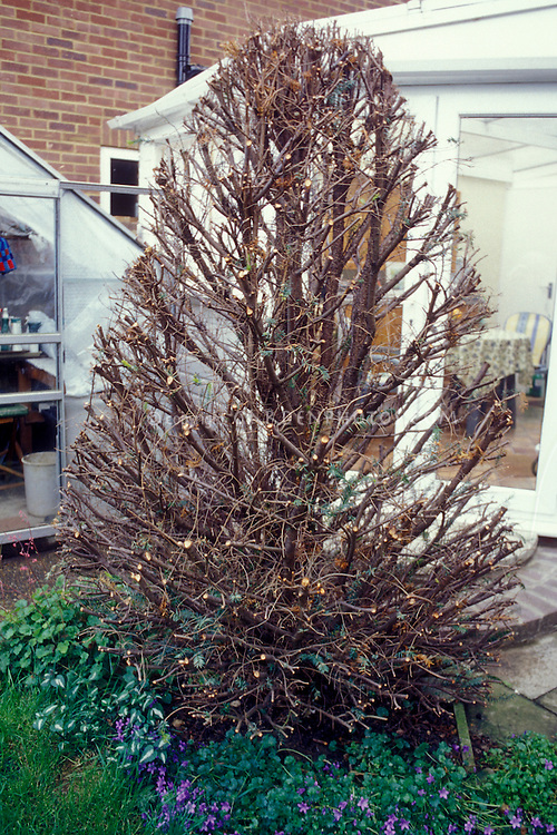 Severely pruned yew tree. 1st in series showing regrowth and recovery of pruning of evergreen tree
