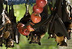 Tolga Bat Hospital -Spectacled Flying Fox in their cage ready to feed on stringed apples  (Pteropus conspicillatus)