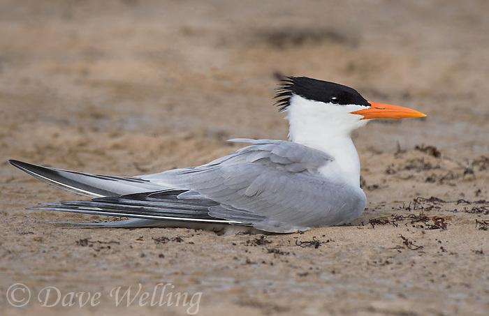581700003 a royal tern thalasseus maxima sits on a sandy beach at boca chica beach along the texas gulf coast