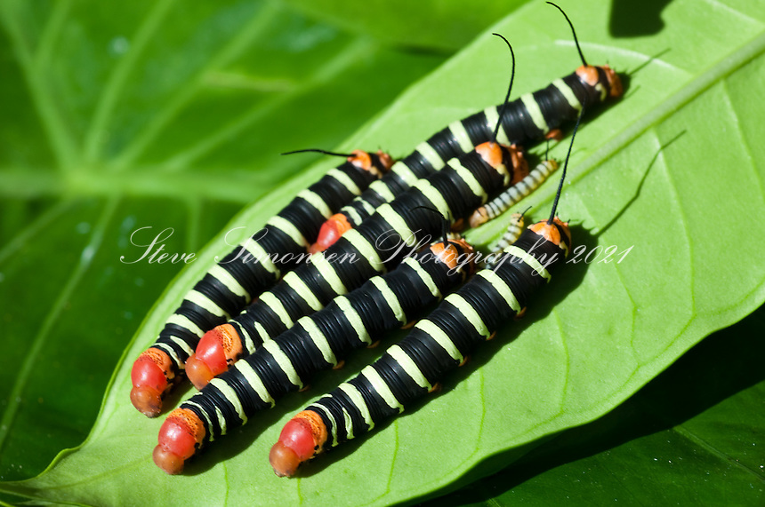 Frangipani Moth Caterpillars