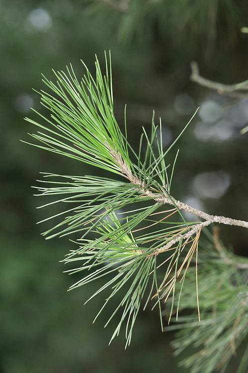 Aleppo Pine Pinus halepensis (Pinaceae) HEIGHT to 20m <br /> A small pine, often growing in a gnarled and deformed manner. BARK Young trees have shiny, smooth, silvery-grey bark, becoming scaly, fissured and redder with age. BRANCHES Twigs are characteristically pale grey, or even white. LEAVES Paired needles are slender (0.7mm), to 15cm long, sometimes slightly twisted and with very finely toothed margins. REPRODUCTIVE PARTS Red-brown cones are up to 12cm long and 4cm across, oval or conical and borne singly on short stalks, or in groups of 2–3, and sometimes deflexed. Cone scales are shiny reddish-brown with hide winged seeds up to 2cm long. STATUS AND DISTRIBUTION Widespread and common around Mediterranean, planted here for ornament.