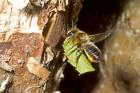 Wood-carving Leaf-cutter Bee - Megachile ligniseca