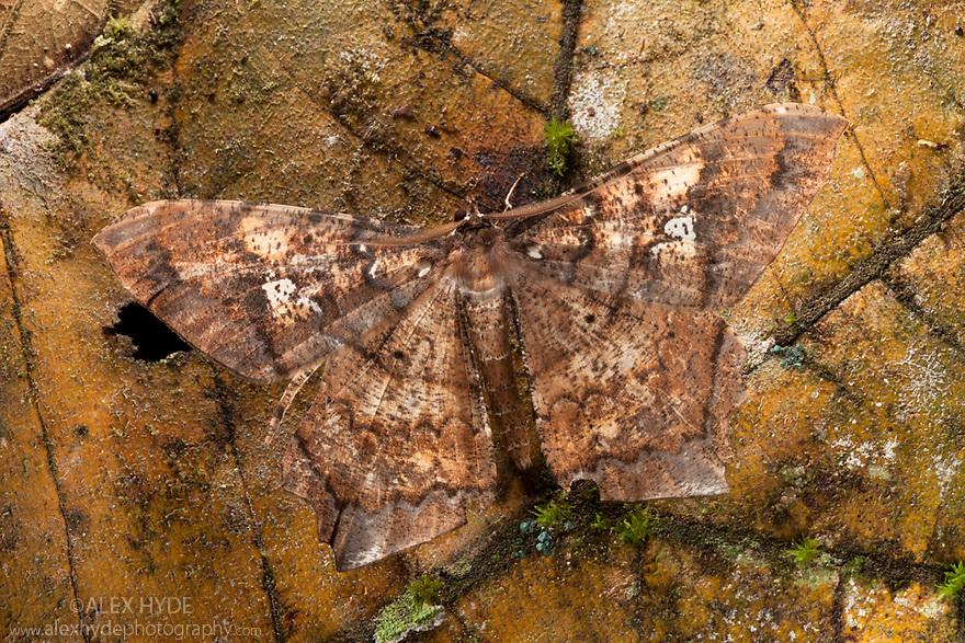 Leaf-mimicking moth {Amblychia sp.}, camouflaged as dead leaf. Maliau Basin, Sabah, Borneo, Malaysia.