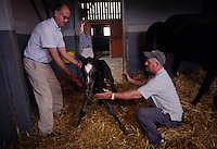 Arthur Hancock helps steady a newborn foal at Stone Farm in Paris, Kentucky, which bred Kentucky Derby winners Gato Del Sol, Sunday Silence and Fusaichi Pegasus. Both are on the frontline of the equine welfare/anti slaughter movements and highly involved in the new Kentucky Equine Humane Center (KEHC) which is getting ready to open its doors to a waiting list of horses who are in immediate need of shelter.