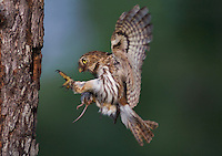Ferruginous Pygmy-Owl, Glaucidium brasilianum, adult with mouse prey landing at nesting cavity, Willacy County, Rio Grande Valley, Texas, USA.Digitally added canvas on top and wing tip