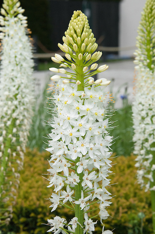 Himalayan foxtail lily (Eremurus himalaicus), mid May. The Telegraph Garden, RHS Chelsea Flower Show 2015 designed by Marcus Barnett.