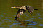 Cormorant in Flight Double-crested Cormorant Sepulveda Wildlife Refuge Southern California Close Portrait