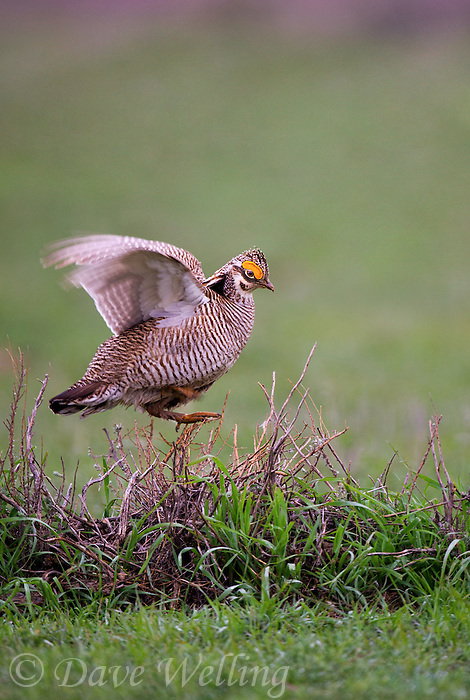 572110257 a wild lesser prairie chicken tympanuchus pallidicintus displays and struts on a lek on a remote ranch near canadian in the texas panhandle