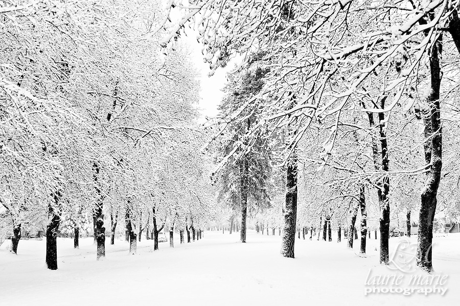 Snow covered trees lining a boulevard in black and white