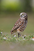 Burrowing owl side view