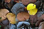 Leaf litter, Cayman Brac, Cayman Islands, British West Indies,