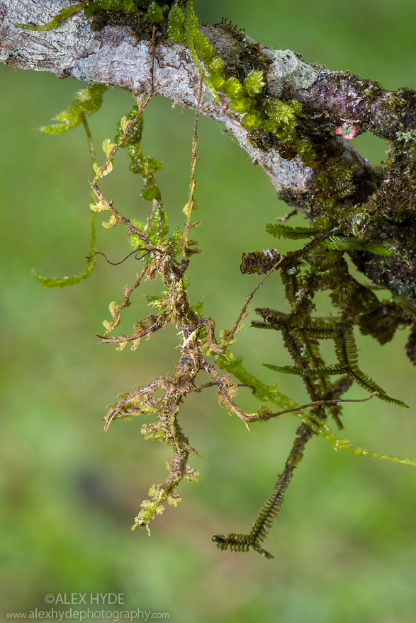 Moss Mimic Stick Insect (Trychopeplus laciniatus) showing amazing camoflage on mossy vine. Photographed in tropical rainforest, Cordillera de Talamanca mountain range, Caribbean Slopes, Costa Rica. May.
