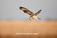01113-01016 Short-eared Owl (Asio flammeus) in flight at Prairie Ridge State Natural Area, Marion Co., IL