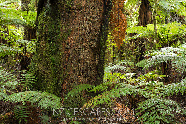 Old and large, native rimu tree and tree ferns, ponga, West Coast, UNESCO World Heritage Area, South Westland, New Zealand, NZ