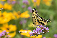 03017-01316 Giant Swallowtail butterfly (Papilio cresphontes) on Brazilian Verbena (Verbena bonariensis), Marion Co., IL