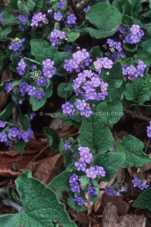 Brunnera macrophylla in bloom