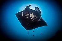 reef manta ray, Manta alfredi, feeding, Manta Sandy, Raja Ampat, West Papua, Indonesia, Indo-Pacific Ocean