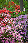 U.S. National Arboretum, Washington D.C.<br /> A variety of azaleas blooming near the Lee Garden in the Azalea Collections,  spring