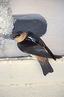 Cave Swallow - Petrochelidon fulva - adult at nest