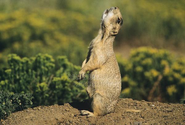 Gunnison's Prairie Dog (Cynomys gunnisoni) | ROLF ...