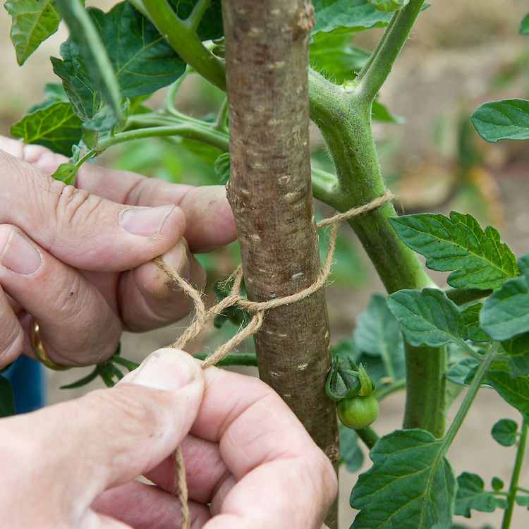 Supporting a growing tomato plant by tying in the main stem to a hazel pole, mid July.
