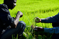 BURKINA FASO, Bobo Dioulasso, village Bama, paddy farming, production of Hybrid rice seeds for NAFASO, nursery field with rice seedlings / GIZ Projekt ProCIV Grüne Innovationszentren, WSK Reis, Reis Hybrid Saatgut Anbau fuer  Firma Nafaso, Saatgutherstellung, Reisfeld mit Setzlingen zum Umpflanzen