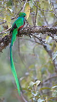 The Resplendent quetzal is one of the world's most beautiful birds.