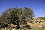 Israel, Shephelah, Carob tree (Ceratonia Siliqua) overlooking Givat Gad (Gad Hill)