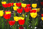 backlit red and yellow tulip heads in the spring sunshine fill the frame with vibrant, electric colors