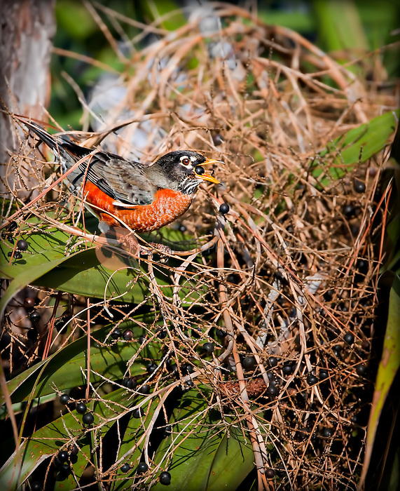 American Robin, male, feeding on berries, with a berry in it's beak