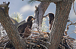 Nesting bald eagles, near Markleeville, Ca., on Wednesday, July 10, 2019.<br /> Photo by Cathleen Allison/Nevada Momentum