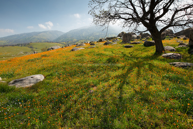 Poppies and other wildflowers carpet the pastures and hillsides east of Bakersfield, Kern County, CA.