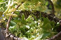 Lindenblüten-Ernte, Ernte von Lindenblüten in einen Korb, Linde, Lindenblüte, Holländische Linde, Hybridlinde, Hybrid-Linde, Tilia x europaea, Tilia x vulgaris, Tilia cordata x Tilia platyphyllos, Lime, Common Lime, linden, common linden, Le tilleul commun