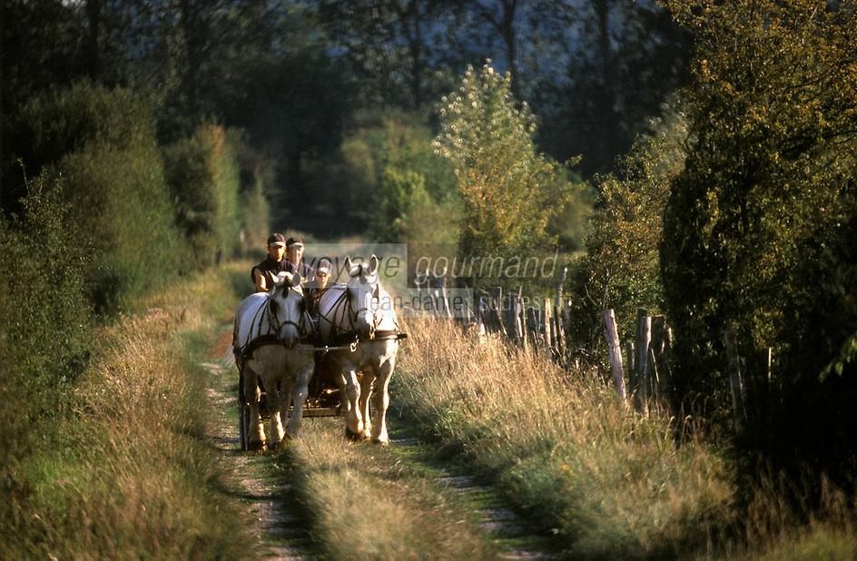 Europe/France/Basse-Normandie/61/Orne/Perche/La Mesnière: attelage de chevaux Percherons de la ferme de Montaumer