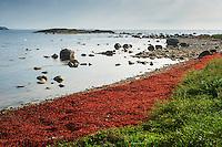 Tång på en stenstrand i Sandhamn i Stockholms skärgård. / Seaweed on a pebble beach in Sandhamn in Stockholm archipelago Sweden