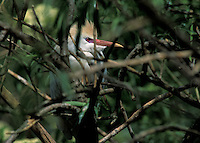 Cattle Egret (Bubulcus ibis) in breeding plumage, onthe nest, south Florida