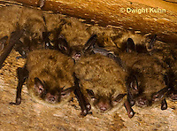MA20-513z  Little Brown Bats, Myotis lucifugus