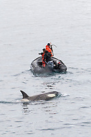 killer whale or orca, Orcinus orca, Type B2 killer whale with researchers in Dallmann Bay, Antarctica, Southern Ocean