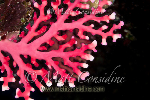 Red Coral, Yap Micronesia<br /> (Photo by Matt Considine - Images of Asia Collection) (Matt Considine)