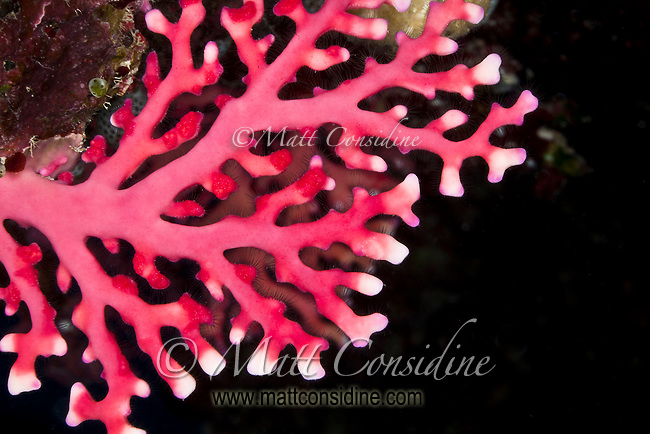 Red Coral, Yap Micronesia<br /> (Photo by Matt Considine - Images of Asia Collection)