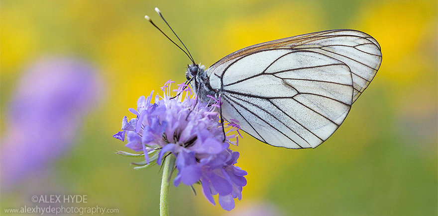 Black Veined White butterfly (Aporia crataegi)